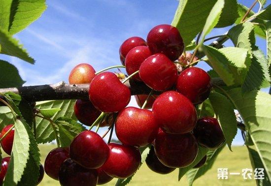 大部分地区均可种植,海拔400米 【常见问题】大樱桃栽培技术图片