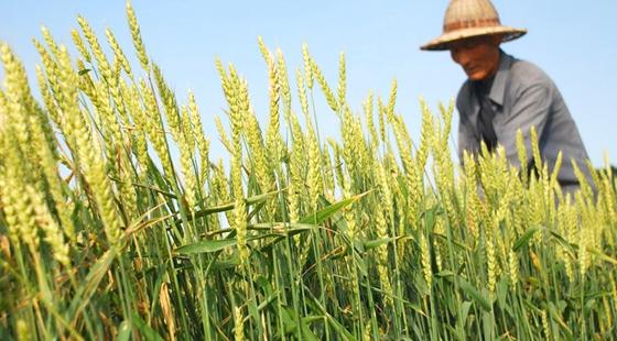 山东夏收:5600多万亩小麦机收率达98%