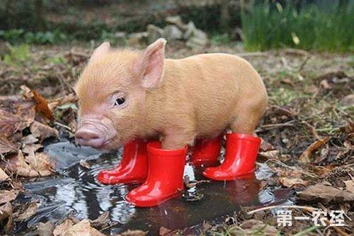 宠物猪怎么养?