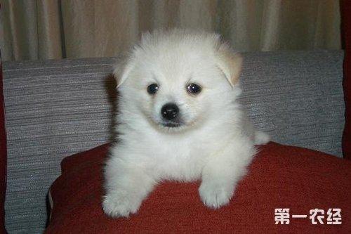 宠物狐狸的品种现在有雪狐(白狐)和蓝狐(哈狐,小时候暗青色,成年后浅