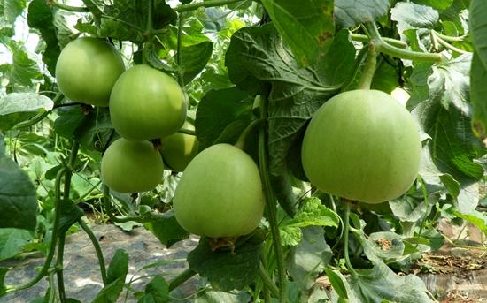 甜瓜种植:甜瓜怎么整枝摘心?