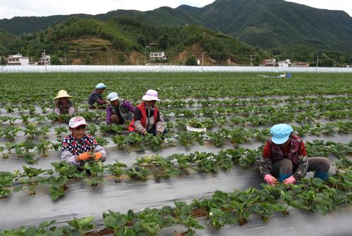 云南会泽:发展经济特色作物助农增收