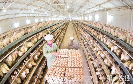 国内首个蛋鸡全产业链大数据平台推出