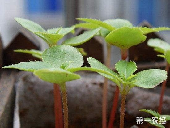 凤仙花的生长过程 图