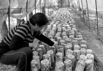 北京:高山林下种植食用菌 引发返乡潮