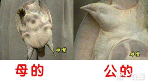 甲鱼怎么分公母?如何辨别甲鱼的雌雄?