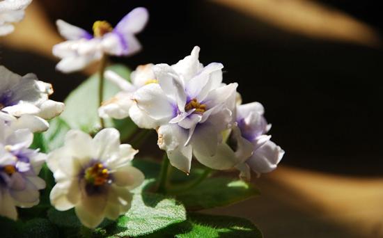 非洲堇(非洲紫罗兰)品种有哪些?