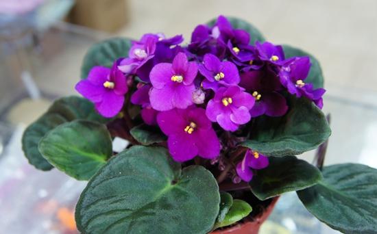 如何使非洲紫罗兰多开花?