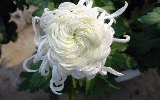 怎样培育好独本菊?独本菊的养护方法