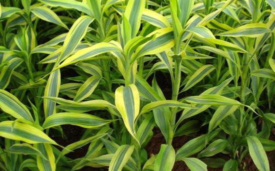 富贵竹怎么养才能更旺盛?