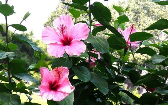 扶桑花花语是什么?扶桑花的花期