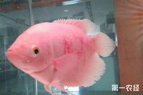 招财鱼常见疾病防治大全(上)