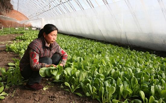 小白菜种植时间