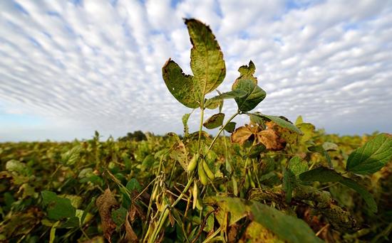 夏天怎么种大豆可以高产?