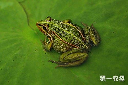 青蛙和蟾蜍有什么区别 青蛙和癞蛤蟆的区别有哪些