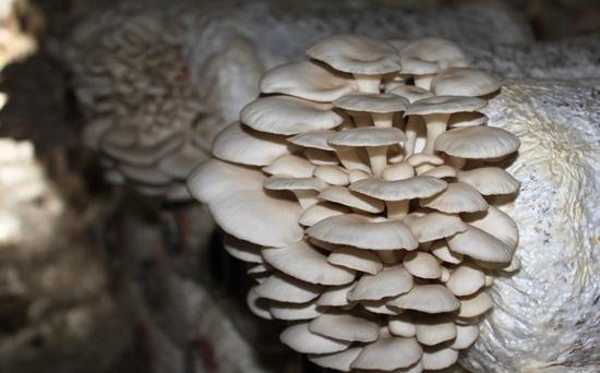 平菇长得慢是什么原因?