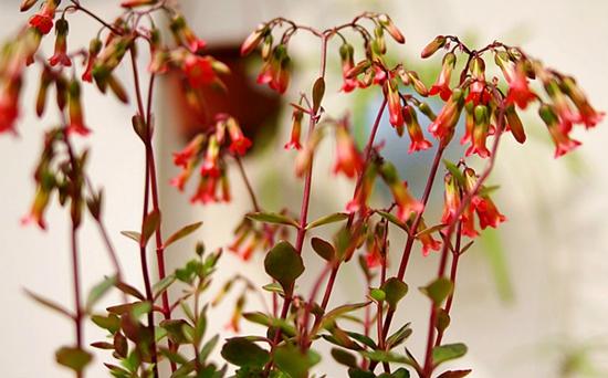 宫灯长寿花的繁殖方法