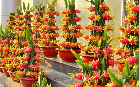 火龙果盆栽怎么种?火龙果盆栽种植方法