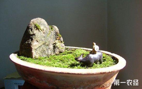 苔藓盆景的养护