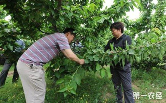 大棚种植樱桃夏季要注意哪些图片
