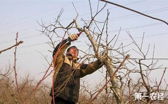 衰老苹果树修剪技术