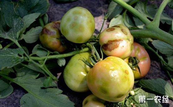 由于保护地番茄是提早或延后栽培,有保护设施,不能合理轮作,环境和土壤温度低,中期夜温高、湿度大,再加上密度不合理,氮肥施用过多,氮磷钾比例失调,土壤板结,管理欠佳等原因,造成植株生长不良,果实膨大期间光照不足影响光合物质生成,引起褐色筋腐病的发生。但是,单独一种因素很难导致发病,必须有多种不良因素的综合作用才会引起发病。褐色筋腐病多发生在低温弱光条件下。植株茂密、通风透光不良有利于该病发生。土壤水分过大,土壤氧气供应不足时,也有利于该病发生。施肥量过大,特别是铵态氮施用过多,钾肥不足或钾的吸收受阻时,