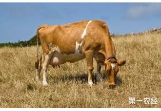 母牛肥胖综合症防治,母牛妊娠毒血症的预防与治疗