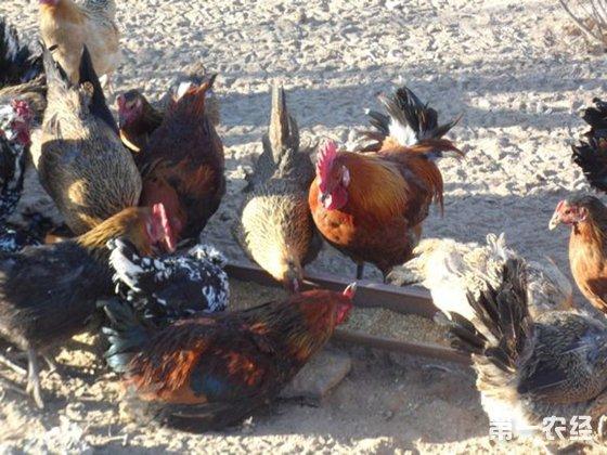 第一农经养鸡网