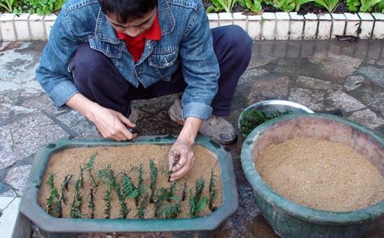 红豆杉扦插技术