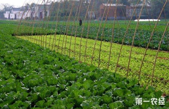 因为无公害蔬菜的特性,所以在种植过程中,对于病虫害的防治和普通蔬菜