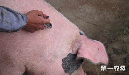 怎么给猪打针? 详解正确部位