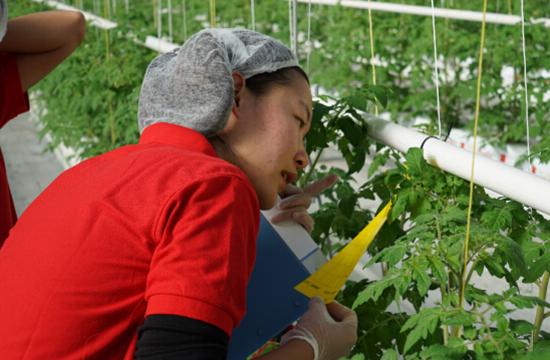 <b>欧荷生态小番茄:丽蚜小蜂来捉虫</b>