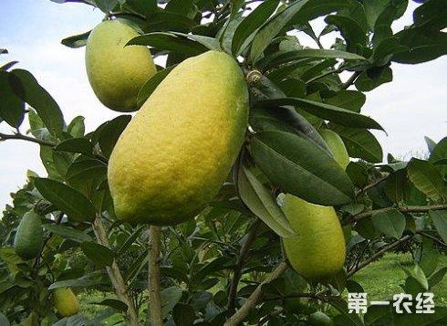 营养不良导致柠檬树叶子发黄