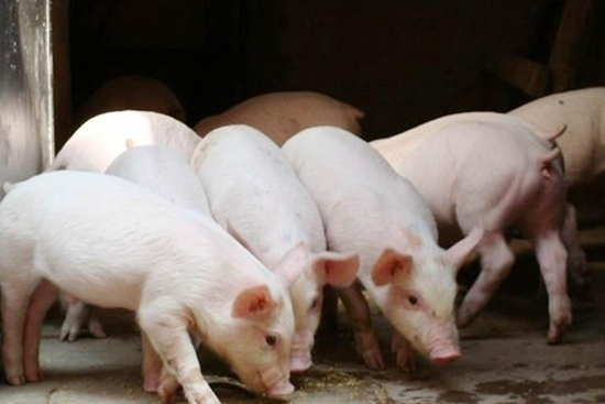 2016年养猪利润有多少? 养猪利润与成本分析