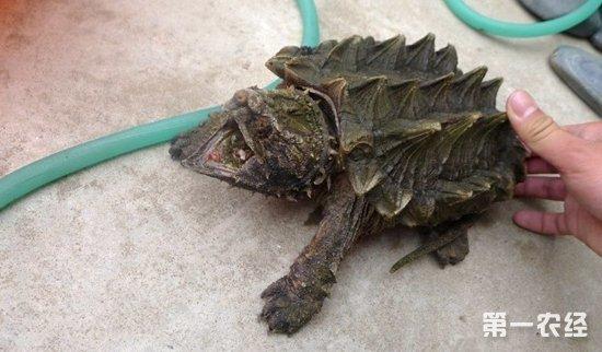 郑州女子千元买神龟放生 实为外来物种鳄龟
