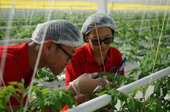 欧荷生态小番茄:种苗嫁接创造神奇