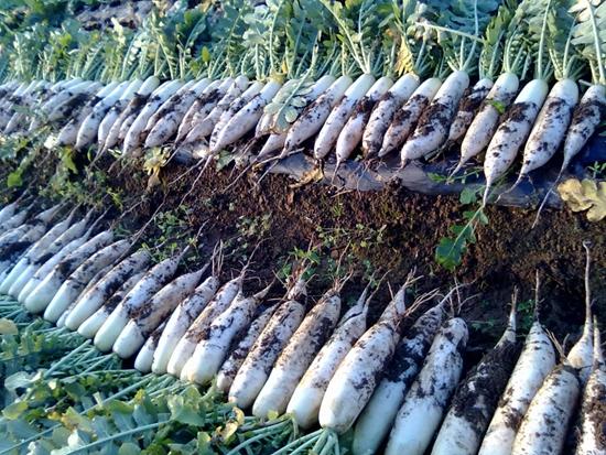萝卜种植时间和方法