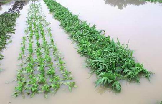暴雨来袭蔬菜生产应对措施