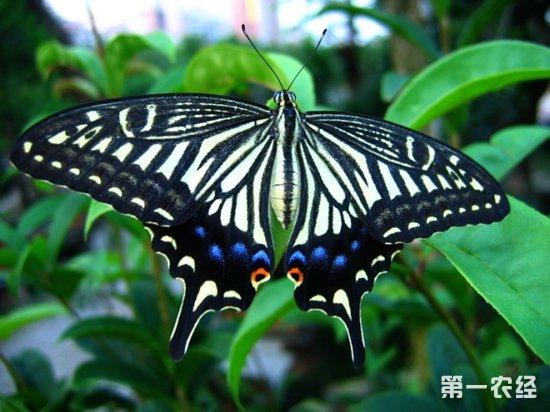 柑桔凤蝶的防治方法
