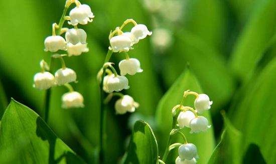铃兰花语是什么?
