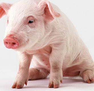 <b>聚焦猪品种:黑猪肉与白猪肉的区别</b>