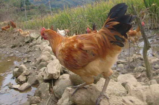 土鸡养殖存在的问题及应对措施