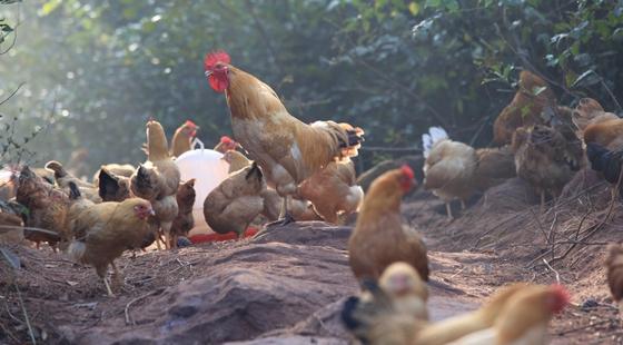 土鸡育成期饲养管理要点,土鸡养殖技术要点