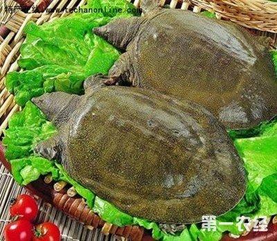 鱼台甲鱼 山东济宁特产
