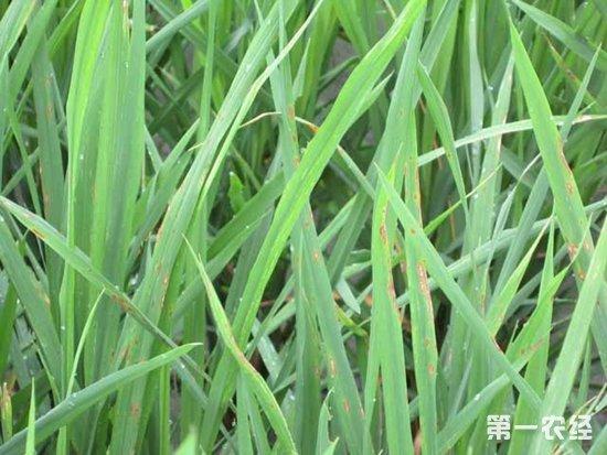水稻稻瘟病防治方法