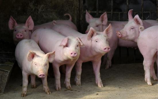 猪寄生虫病危害 常见猪寄生虫病图片