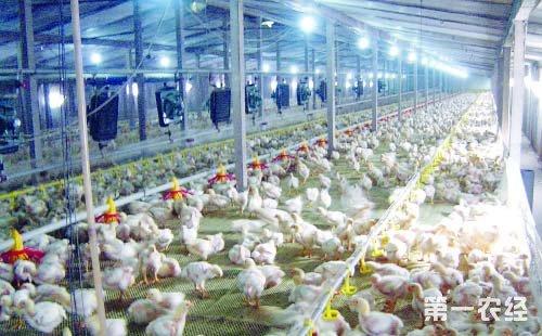 大棚养殖肉鸡六要点
