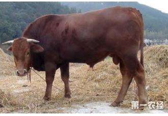 牛中暑怎么办?牛中暑的防治方法