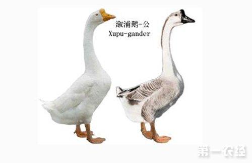 怎样区分公鹅母鹅 公鹅和母鹅的区别方法图片