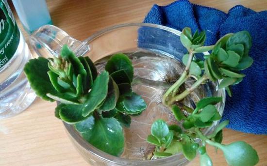 长寿花可以水培吗?长寿花水培方法